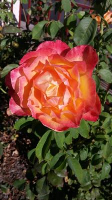 Concordia Rose